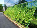 "Photo:""Green Curtain"" Initiative: KYOCERA Greens Company Buildings and Saves Energy"